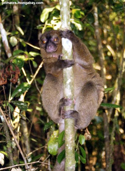 Lemur Di bambù [ Jen Caldwell ]