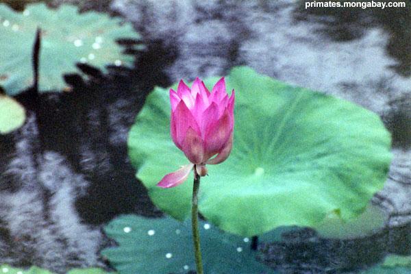Siamesische Blume [ Jen Caldwell ]