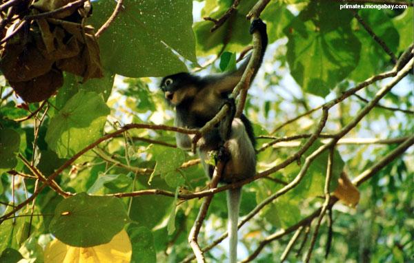Mono Del Chillón [ Jen Caldwell ]