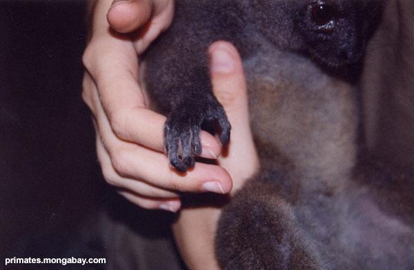 Mano De Lemur [ Jen Caldwell ]