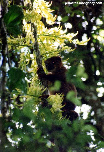 Pollinisation De Fleur De Lemur [ Jen Caldwell ]