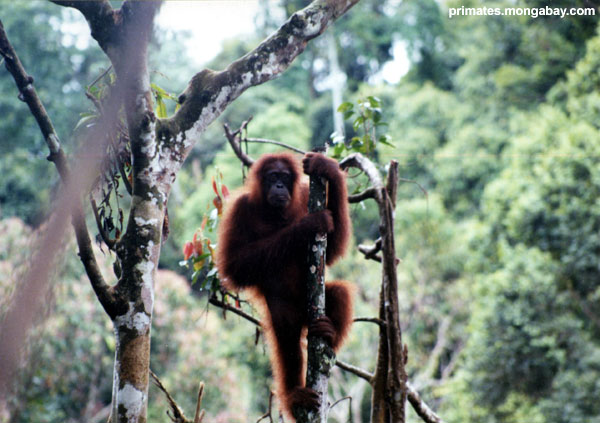 Orangutan [ Jen Caldwell ]