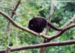 Howler monkey [primate_01]